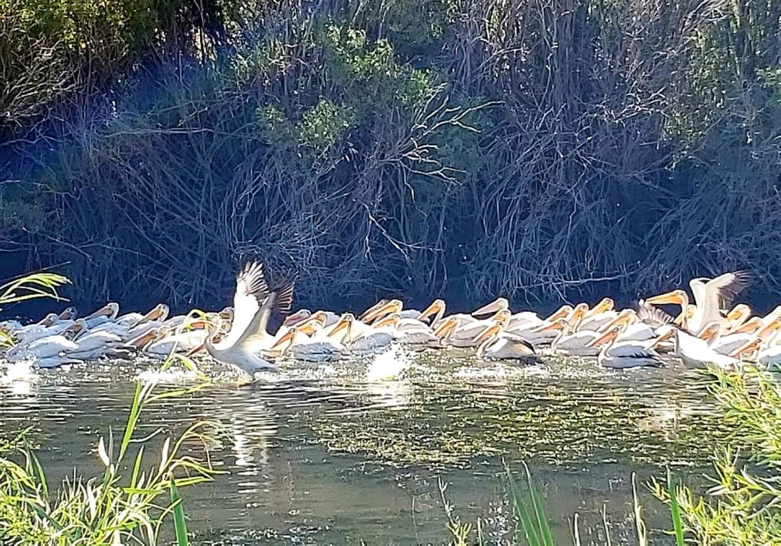 White Pelicans-Web Size